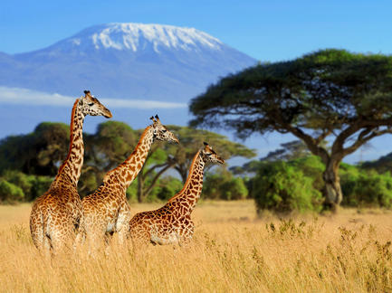 Afrika Kilimanjaro Kenia Tanzania Giraffen Safari Serengeti Ostafrika Fotolia 136765507 Subscription Monthly M